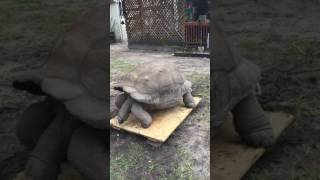 #2 Weight Oliver Large Aldabra Tortoise
