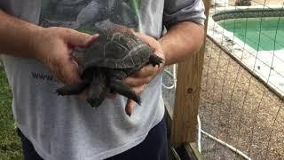 Fungus invading Aldabra Tortoise Shell