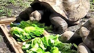Feeding Time Tortoise Eating a Lettuce