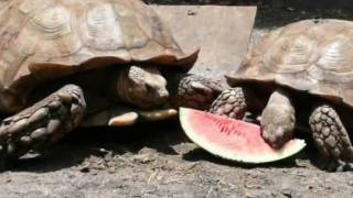 African Spurs Tortoises Eating Watermelon at the FloridaIguana.com Turtle Farm