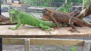 2015 66% Het for Albino Green and Red Iguanas