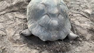 103 year old Tortoise can she still have babies, I would say so.