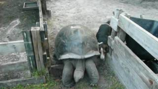 Hans (Dog) Trapped behind #7 Tortoise at the FloridaIguana.com