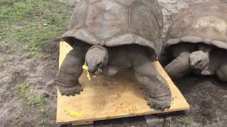 Aldabra Tortoise #7 Weight