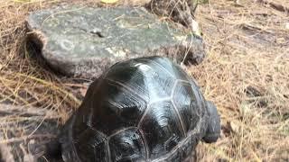 ID P16 8 inch Aldabra Tortoise