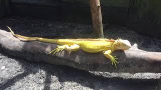 Sub Adult Albino iguanas