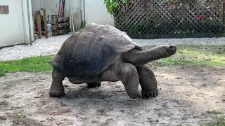 30 year old Galapagos Tortoise is a great friend