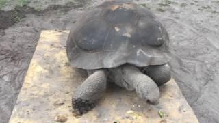 Elizabeth Galapagoes Tortoise Weight